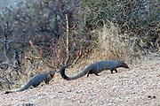 Pair of ruddy mongoose (Herpestes smithii) from Jawai, Rajasthan, India.