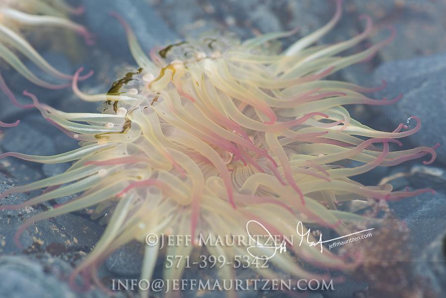 Sea anemone in tidal area in SGang Gwaii, Haida Gwaii, British Columbia, Canada.