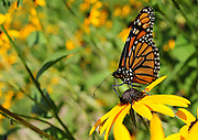 A monarch butterfly drinks nectar from a black-eyed Susan flower. (Sam Lucero photo)