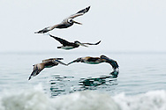 A flock of endangered Brown Pelicans fly just inches above the surf in Solana Beach, California.