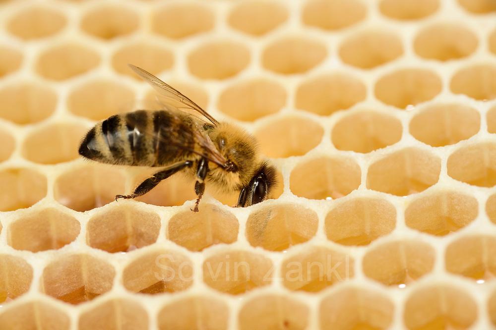 Honey bee (Apis mellifera), Kiel, Germany | Die Honigbiene (Apis mellifera) überquert mit sichherem Schritt eine Honigwabe. Um eine Zelle einer Honigwabe zu füllen, mussen 5 Bienen einen Tag Sammeln, das entspricht 25 Sammelflügen.   Kiel, Deutschland