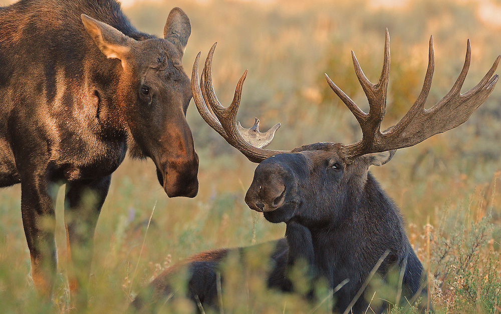 The moose breeding season generally starts around mid-September and lasts until late October. During this period, the bull will stay with a given cow until breeding has taken place. Receptive cows will entice bulls with ghost-like wailing sounds with the bull grunting in response.