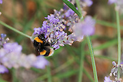 Buff-tailed bumble bee on lavender, collecting nectar.