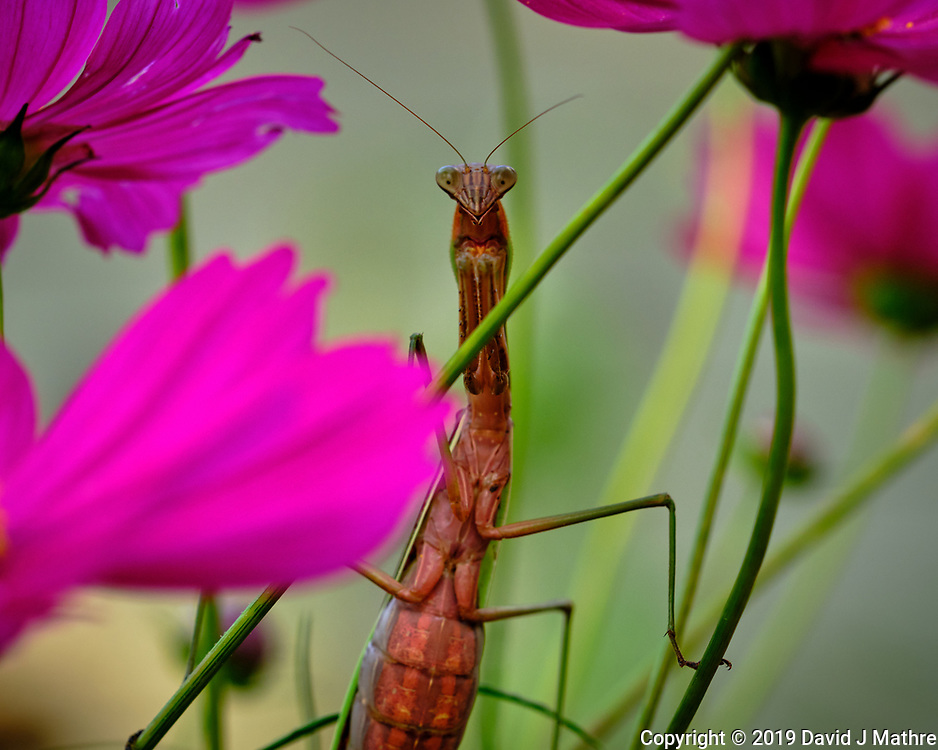 Fat Praying Mantis waiting for another meal in a Cosmos flower Image taken with a Fuji X-H1 camera and 80 mm f/2.8 macro lens + 1.4x teleconverter