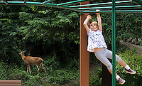 Samantha Caron, 4, determinedly sets out across the monkey bars while a deer, background, munches on leaves at Old Town Park, in Tacoma, July 11, 2011.  The deer's appearance initially attracted park-goers attention but soon both species went about their own business.  And Samantha joyously succeeded in achieving her long-time goal of crossing all the bars.(Janet Jensen/Staff photographer)