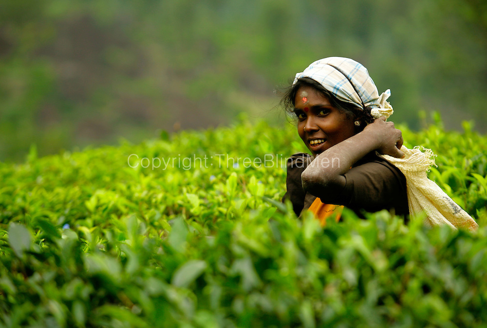 Tea plucker in a tea estate in the Central highlands of Sri Lanka.
