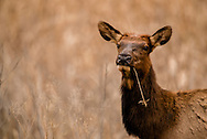 Cow elk, Cervus Canadensis, Charles M Russell National Wildlife Refuge, Montana, autumn