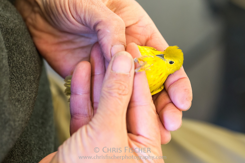 Yellow Warbler being banded for identification on Stratton Island, Maine.