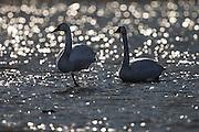 Swans on ice | Svaner på is