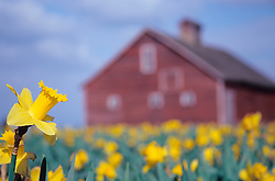 North America, United States, Washington, Mt. Vernon, daffodil field in bloom and red barn at annual Skagit Valley Tulip Festival, held in April