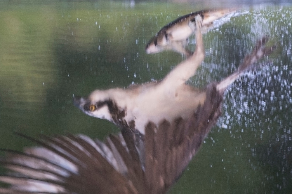 Reflection of Osprey (Pandion haliaetus) with prey, Cairngorms National Park, Scotland.