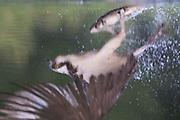 Reflection of Osprey (Pandion haliaetus) with prey, Cairngorms National Park, Scotland.