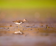 Wood sandpiper (Tringa glareola). This bird is a wader that forages in shallow water or mudflats in or around freshwater lakes and rivers. It feeds on insects and similar aquatic prey, using its long bill. It is found in Europe and northern Asia, and migrates to Africa and southern Asia in the winter. It reaches a length of around 20 centimetres. Photographed at Ein Afek nature reserve, Israel in August