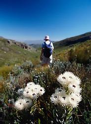 Walker going through fynbos vegetation in the mountains above Franschhoek (Credit Image: © Axiom/ZUMApress.com)