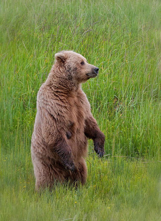 Coastal Brown Bear (Ursus arctos) watching another bear. Lake Clark National Park, Silver Salmon Creek, Alaska.
