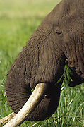 Adult male elephant eating grass, Ngorongoro Crater, Tanzania