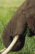 Adult male elephant eating grass, Ngorongoro Crater, Tanzania
