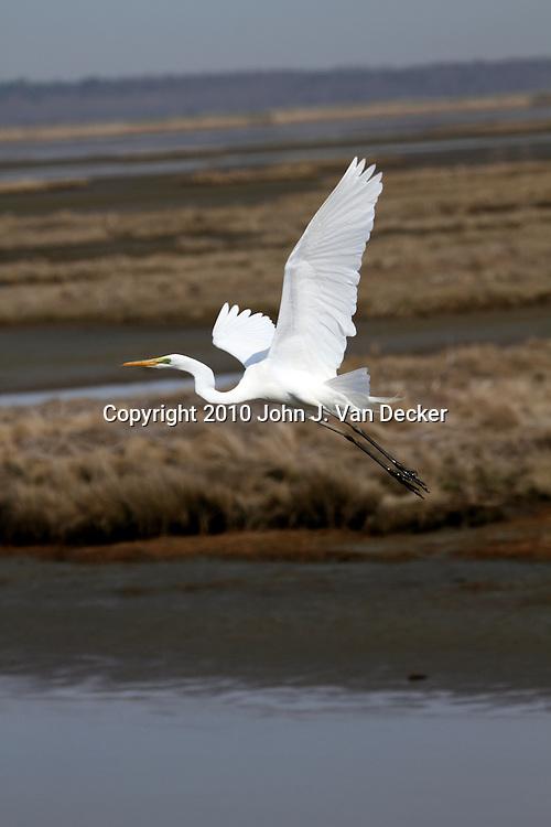 Great Egret, Ardea alba, flying over a saltmarsh. Edwin B. Forsythe Wildlife Refuge, New Jersey, USA