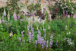 The Statue Walk border at Cottesbrooke Hall, designed by Arne Maynard. Campanula latiloba 'Hidcote Amethyst' (Great Bellflower), Digitalis purpurea (Foxglove) and Cercis canadensis 'Forest Pansy' (Redbud)