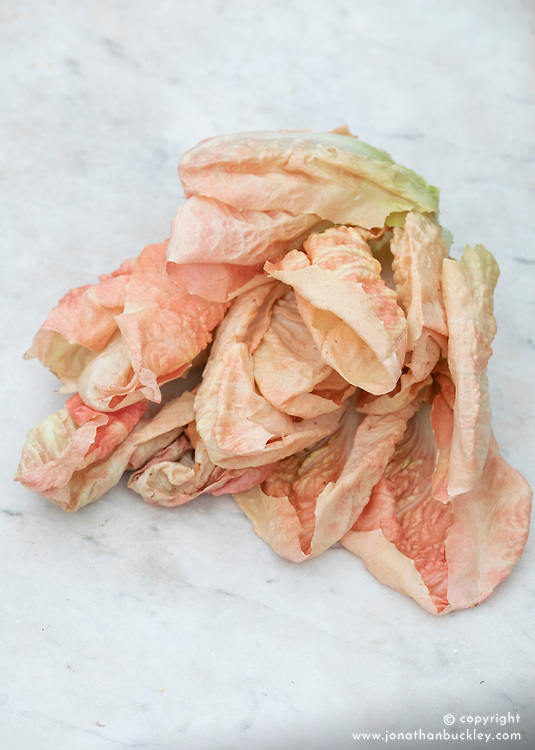 Chicory 'Rosa' or 'Rosalba'. Radicchio