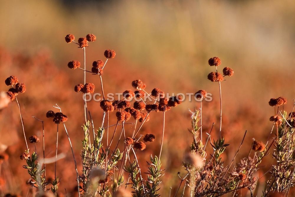 Wild Flowers Of Placerita Canyon
