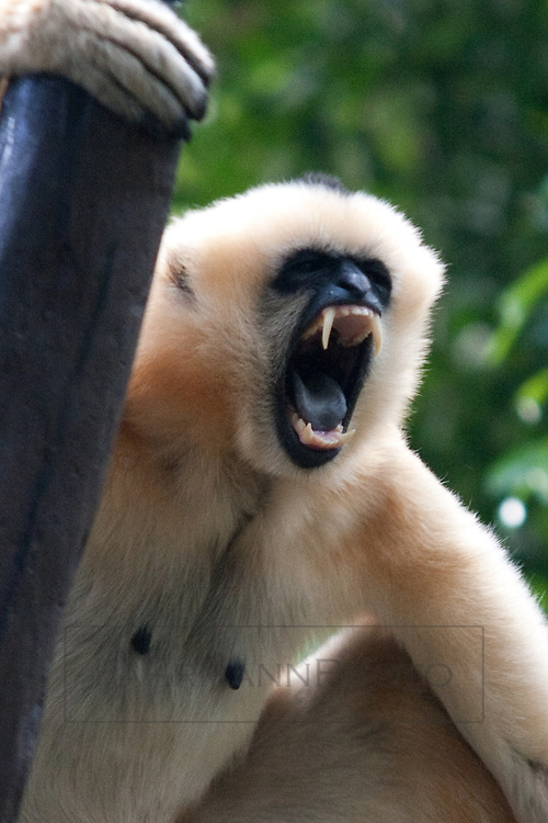 A gibbon calling with mouth fully open and teeth exposed