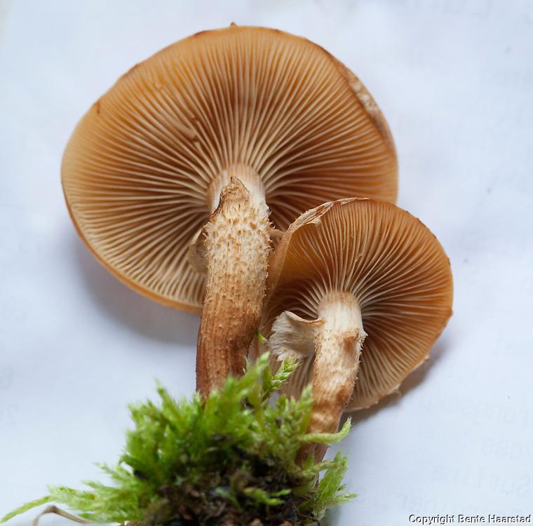 stubbeskjellsopp, Kuehneromyces mutabilis, commonly known as the sheathed woodtuft, an edible fungus which grows in clumps on tree stumps. (synonym: Pholiota mutabilis) Sopp på stubber. God matsopp. Kan forveksles med den meget giftige flatklokkehatt.