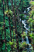 Caribbean National Forest, Epiphytic bromeliads on palm trunks, El Yunque, Puerto Rico's tropical rainforest