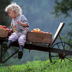 Chester Juzwiak, 4, is in awe of the abundance of tomatoes they picked from the garden as dad, Todd pushes him up to the house in the wheel barrel known as Dreamacres.
