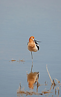 An American Avocet rests in the shallows of a freshwater inland pond.