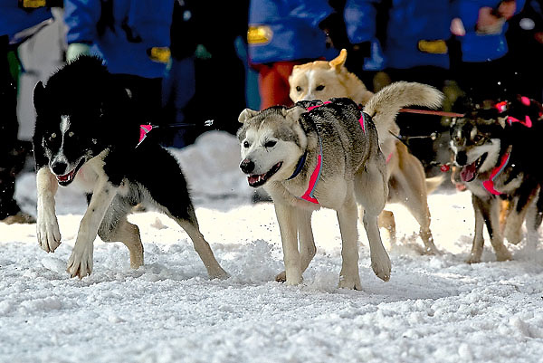 04 March 2006: Anchorage, Alaska - On their way out of the start, DeeDee Jonrowes' team out of Willow, AK show their power at the Ceremonial Start in downtown Anchorage of the 2006 Iditarod Sled Dog Race.