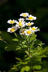 Feverfew (Tanacetum parthenium) white and yellow flowers