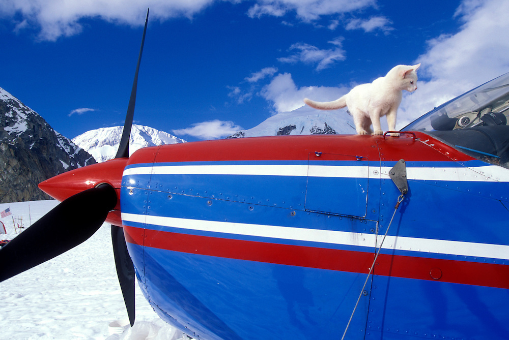 USA, Alaska, Denali National Park, 'Cessna' the cat walks on ski plane's cowling at Mount McKinley climbers' base camp
