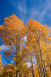 Golden Aspen leaves, aspen trees in fall, white bark, autumn, fall leaves, fall color, Markagunt Plateau, Cedar Mountain, Hwy 132, Mile Marker 24, Dixie National Forest, Utah, UT, Image ut332-18910, Photo copyright: Lee Foster, www.fostertravel.com, lee@fostertravel.com, 510-549-2202