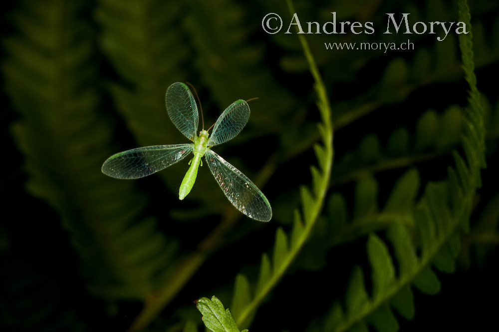 Common Lacewing in flight (Chrysoperla lucasina). Insect in Flight, High Speed Photographic Technique Image by Andres Morya