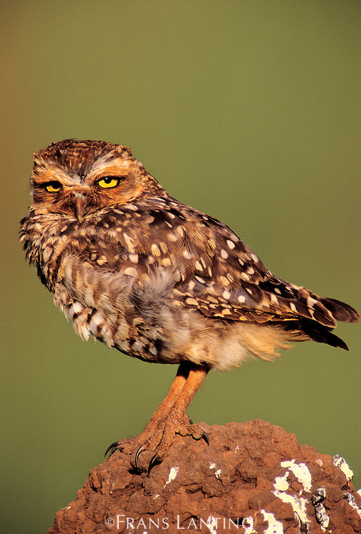 Burrowing owl on termite mound, Athene cunicularia, Emas National Park, Brazil