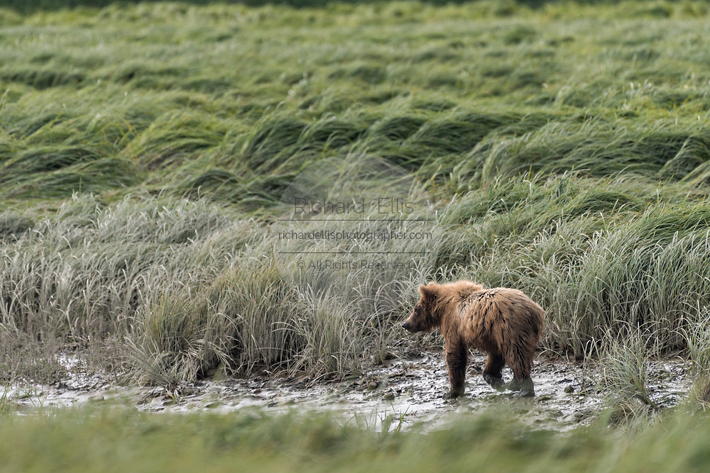 A brown bear adult walks through wetlands and sedge grasses at the McNeil River State Game Sanctuary on the Kenai Peninsula, Alaska. The remote site is accessed only with a special permit and is the world's largest seasonal population of brown bears in their natural environment.