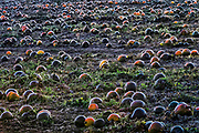 Large pumpkin patch, Vermont, USA.