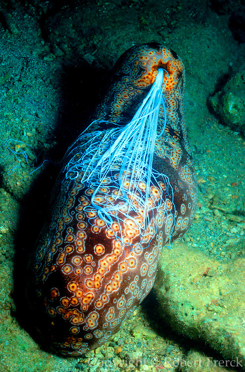 UNDERWATER MARINE LIFE WEST PACIFIC, generic sea cucumber releasing defense tubules Bohadshia argus
