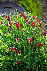Lathyrus odoratus 'Bouquet Crimson'. Sweet peas growing up a birch support in the trials bed at Parham House