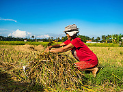 20 JULY 2016 - TAMPAKSIRING, GIANYAR, BALI:   A woman collects rice straw during the rice harvest in Tampaksiring, Bali. Rice is an important part of the Balinese culture. The rituals of the cycle of planting, maintaining, irrigating, and harvesting rice enrich the cultural life of Bali beyond a single staple can ever hope to do. Despite the importance of rice, Bali does not produce enough rice for its own needs and imports rice from nearby countries. Because of its dependable growing weather and number of micro-climates, rice cultivation is a year round activity in Bali. Some farmers can be harvesting rice, while farmers just a few kilometers away can be planting rice. Most rice in Bali is still harvested by hand.    PHOTO BY JACK KURTZ