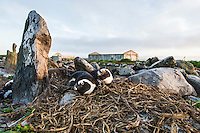 African Penguin pair nesting on old grave sitesBird Island, Algoa Bay, Eastern Cape, South Africa
