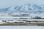 USA, Utah, Virginia, cattle in winter