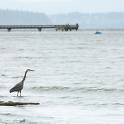 Heron looking out over the sound - Dash Point State Park, WA - Federal Way, WA