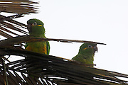 Cerro Tapichalaca Reserve - Monday, Jan 07 2008: Two Golden-plumed Parakeets (Leptosittaca branickii) perch on a palm tree in the Cerro Tapichalaca Reserve near Podocarpus National Park. (Photo by Peter Horrell / http://www.peterhorrell.com)