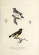 hand coloured sketch Top: Band-tailed Seedeater (Catamenia analis [Here as Linaria analis]) Bottom: black siskin (Spinus atratus [Here as Carduelis atratus]) From the book 'Voyage dans l'Amérique Méridionale' [Journey to South America: (Brazil, the eastern republic of Uruguay, the Argentine Republic, Patagonia, the republic of Chile, the republic of Bolivia, the republic of Peru), executed during the years 1826 - 1833] 4th volume Part 3 By: Orbigny, Alcide Dessalines d', d'Orbigny, 1802-1857; Montagne, Jean François Camille, 1784-1866; Martius, Karl Friedrich Philipp von, 1794-1868 Published Paris :Chez Pitois-Levrault et c.e ... ;1835-1847