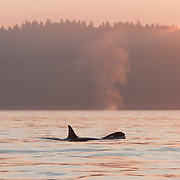 A female and young transient killer whale (Orcinus orca) make their way up the shoreline just off of Golden Gardens, in Seattle, Washington. Transient orcas are mammal eaters, dining primarily on seals and sea lions.