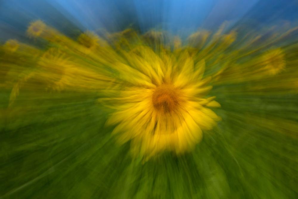 Sunflower, Sussex County Sunflower Maze, New Jersey
