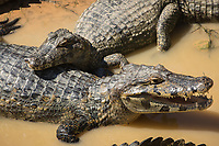 Several caiman, Caiman latirostris, in shallow muddy water along the Trans-Pantanal Highway in Brazil.