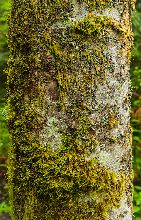 A Red Alder tree covered with moss and lichen. Tiger Mountain, Washington.